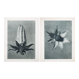 Karl Blossfeldt Double Sided Photogravure N57-58