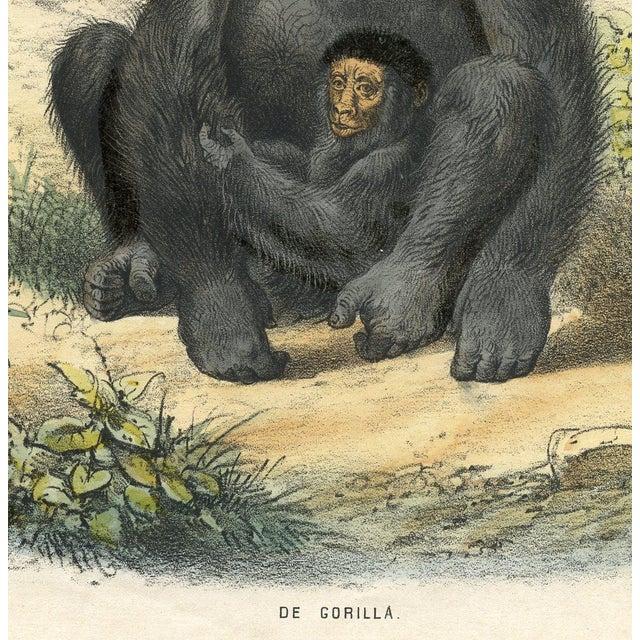 1864 Original Vintage Dutch Gorilla Print - Image 2 of 2