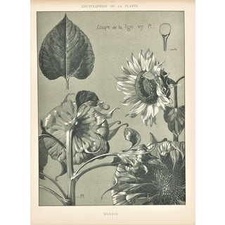 1902 Art Nouveau Botanical -Sunflower