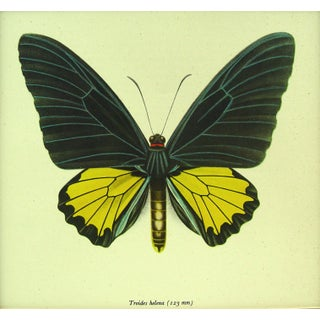 Butterfly Lithograph Circa 1950