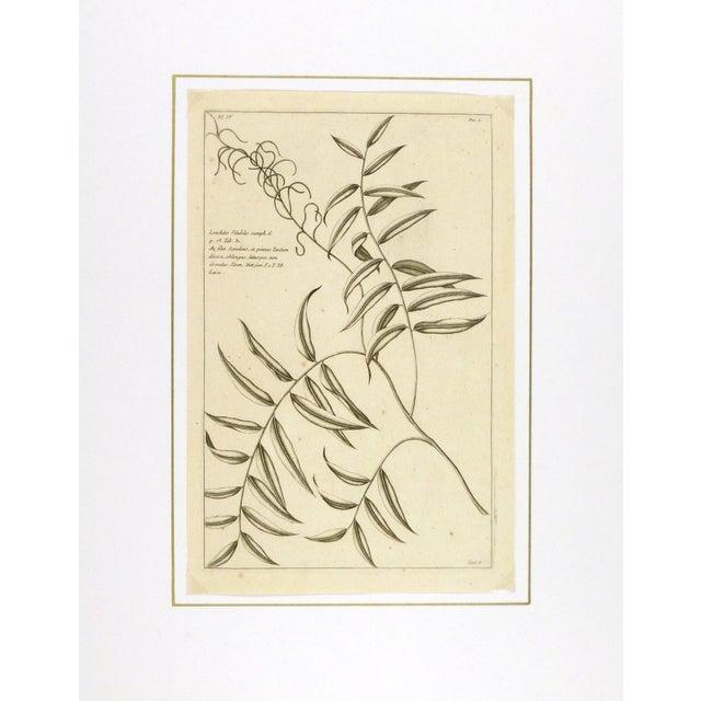 Antique Botanical Engraving, 1773 - Image 3 of 3