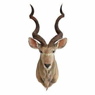 Vintage Taxidermy African Kudu Head