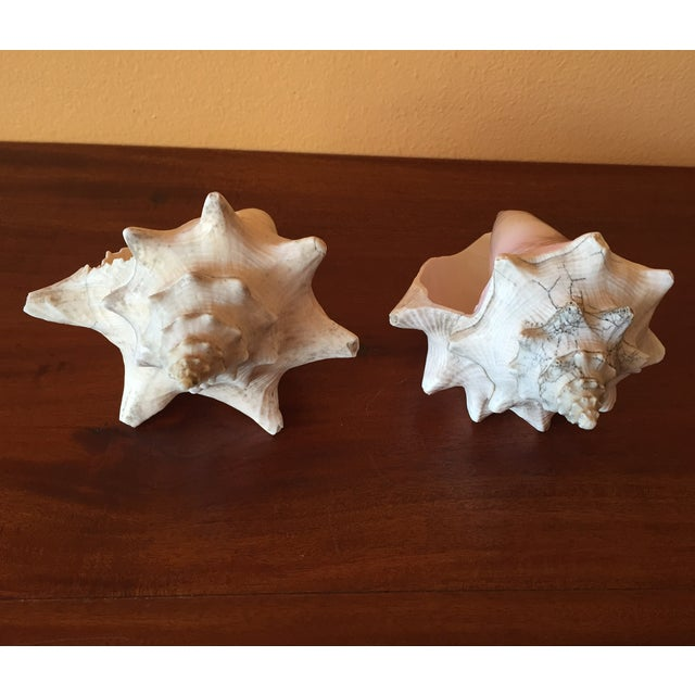 Vintage Queen Conch Shells - A Pair - Image 6 of 11