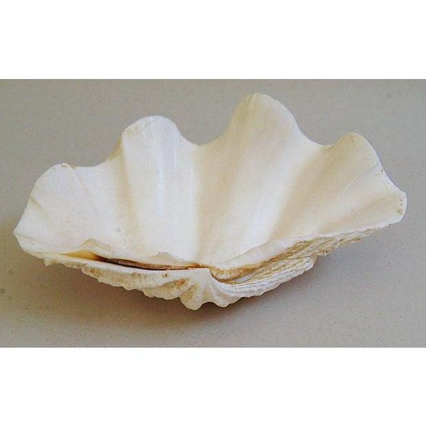 Natural Saltwater Clamshells - Set of 3 - Image 5 of 8