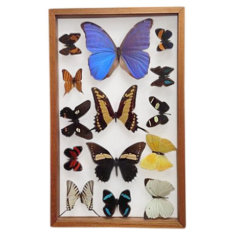 Brazilian Butterfly Collection - Image 1 of 5