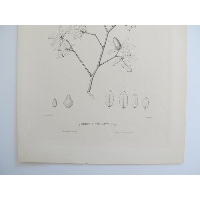 Quercus Toumeyi Antique Botanical Print - Image 3 of 4