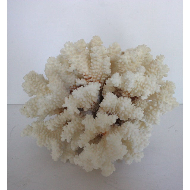 Natural Brown Stem Coral Specimen - Image 2 of 4