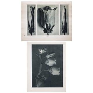 Karl Blossfeldt Double Sided Photogravure N91-92