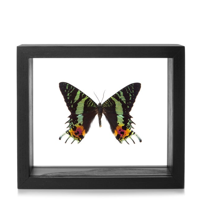Image of Framed Sunset Moth-Urania Ripheus