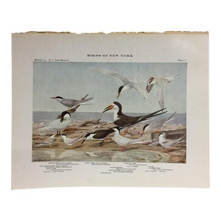 Vintage Birds of New York Terns Print
