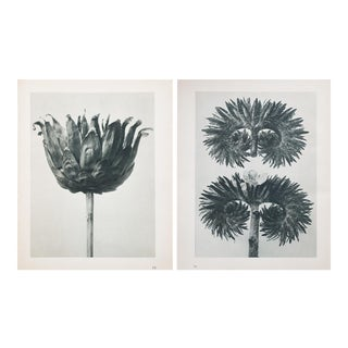 Karl Blossfeldt Double Sided Photogravure N75-76