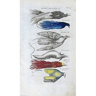 17th Century Birds Colored Steel Engraving