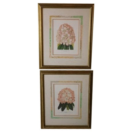 Image of Pink Rhododendron Botanical Prints - a Pair