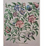 Image of 1615 Basilius Besler Botanical Engraving