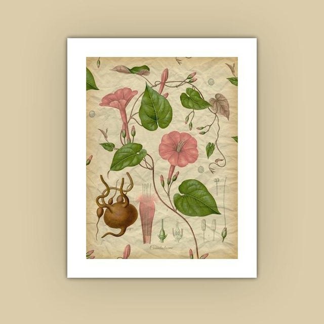 Archival 'Pink Morning Glory' Antique Print - Image 3 of 3