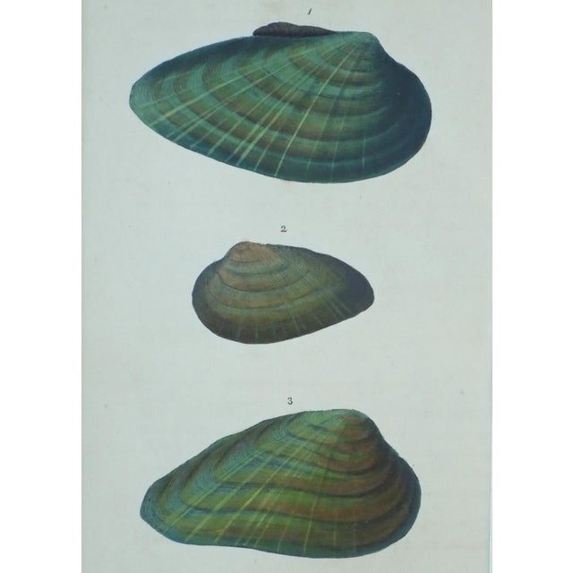 Original Green Mussel Engraving C. 1803 - Image 2 of 4