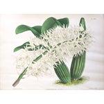 """""""Dendrobium Hillii"""" Orchid Antique Botanical Print"""