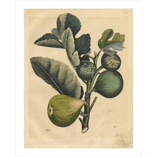Antique 'Fig' Archival Print