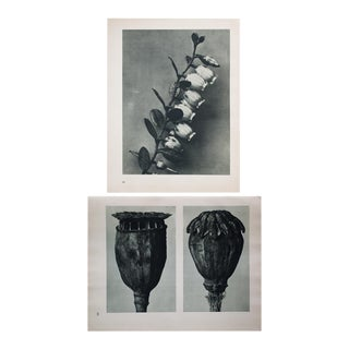 Karl Blossfeldt Double Sided Photogravure N89-90