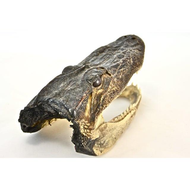 Taxidermy Alligator Head - Image 4 of 5