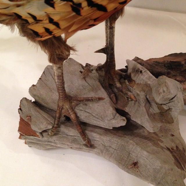 Stuffed Pheasant Mounted on Driftwood - Image 6 of 6