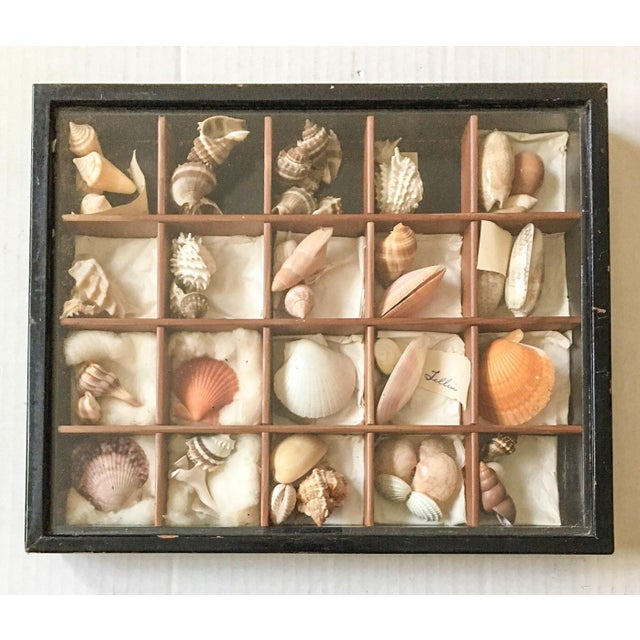 Antique Seashell Collection Shadowbox - Image 2 of 8
