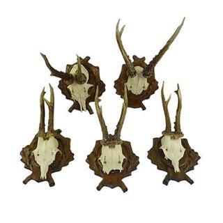 Antique Deer Antler Trophy Mount - Set of 5
