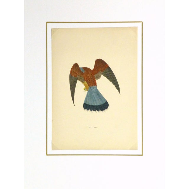 Antique Bird Print Engraving, Kestrel, C. 1870 - Image 4 of 4