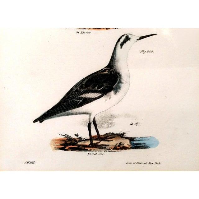 Antique Natural History of NY Bird Prints - A Pair - Image 7 of 9