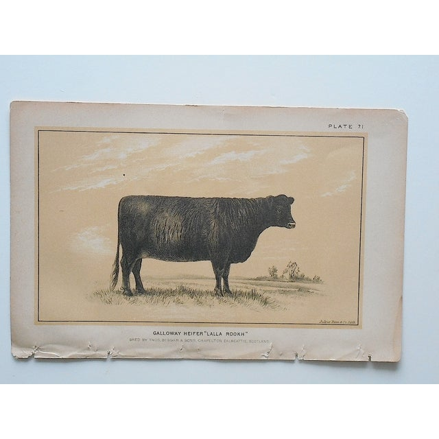 Antique Bull & Cow Lithographs - A Pair - Image 5 of 5