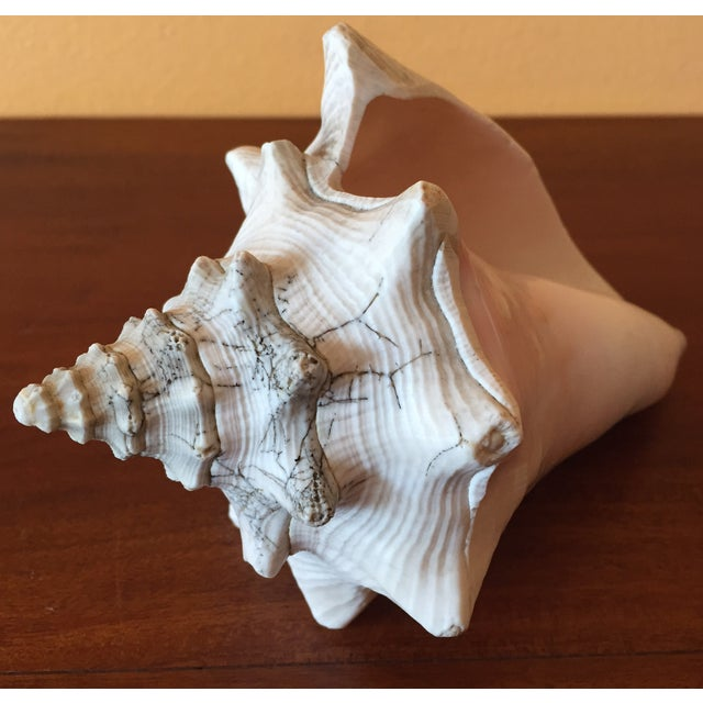 Vintage Queen Conch Shells - A Pair - Image 11 of 11