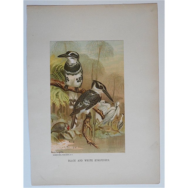 Image of Antique Kingfisher Lithograph