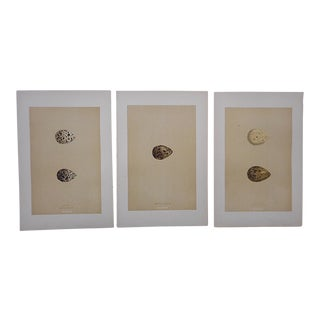 Antique Egg Lithographs-Set of 3-Snipe Eggs