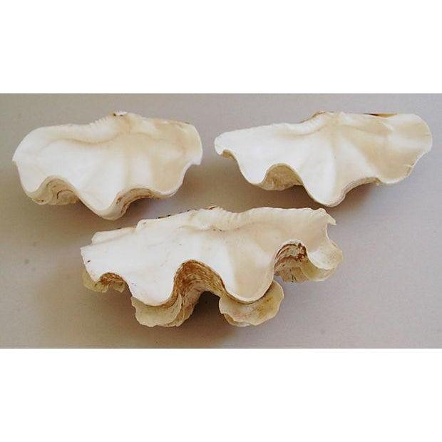 Natural Saltwater Clamshells - Set of 3 - Image 3 of 8