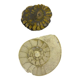 Nautical Ammonite Fossils - A Pair