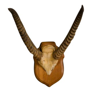 Well Mounted Skull and Horns from an African Gazelle with the Original Wooden Plaque from France c.1890