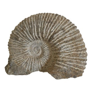 Nautilus Shell Fossil