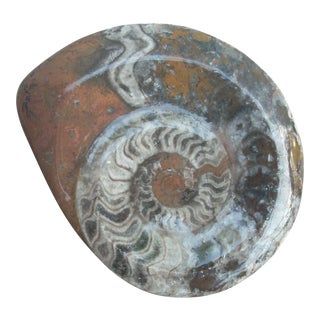 Whole Polished Ammonite Fossil