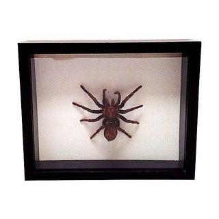 Tarantula Specimen in Frame
