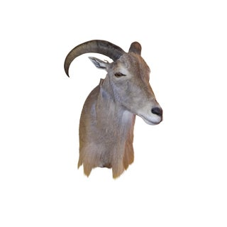 Ibex Cape Wall Mount