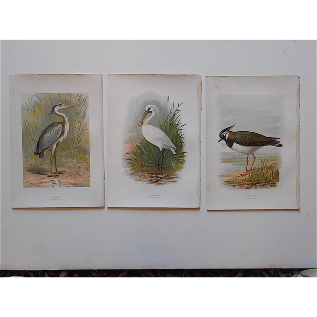 Antique Bird Lithographs - Set of 3 - Image 2 of 3