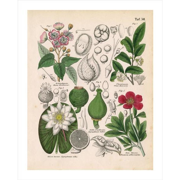 Image of Antique Botanical Archival Print