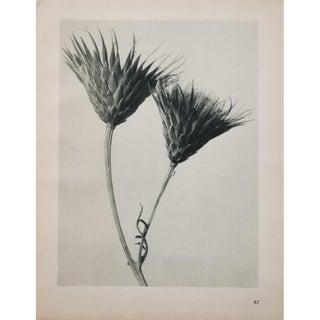 Blossfeldt 2-Sided Photogravure N87-88