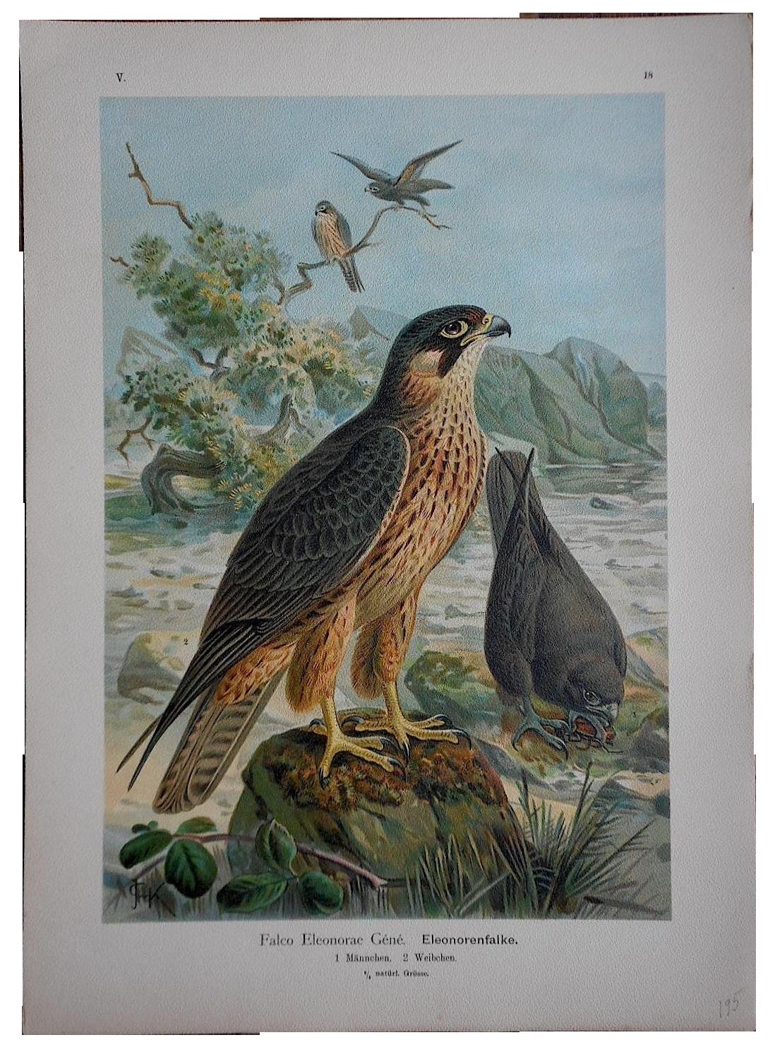 Antique Lithograph Birds Of Prey Large Folio Chairish