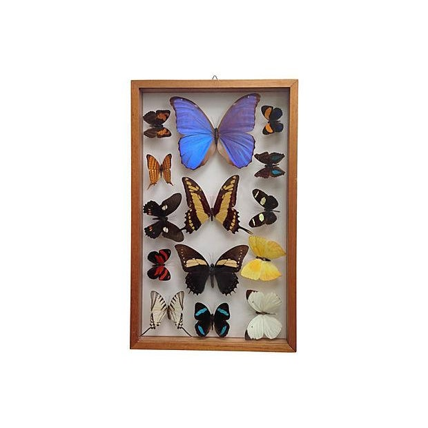 Brazilian Butterfly Collection - Image 2 of 5