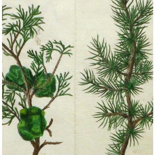 Antique Botanical Print Trees Engraving, C. 1780 - Image 2 of 3