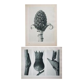 Karl Blossfeldt Double Sided Photogravure N53-54