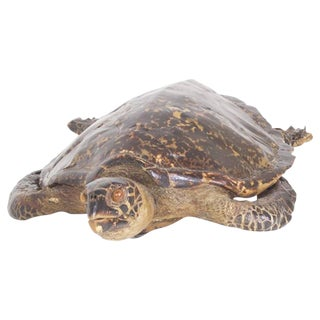 Large Hawksbill Turtle Taxidermy