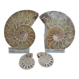 Natural Stone Ammonites - 4 Pieces