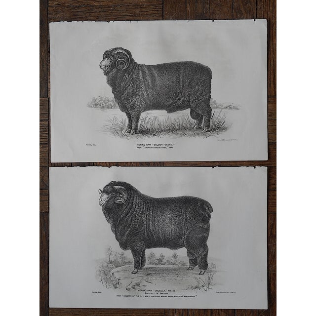 Image of Antique Sheep Lithographs - Pair